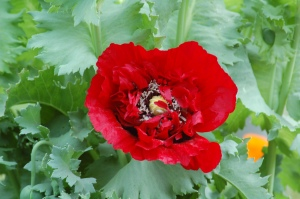 Poppy%20002