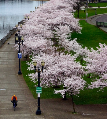 Cherry Blossoms in Portland