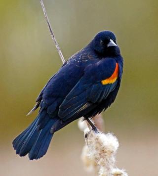 bird orange chest