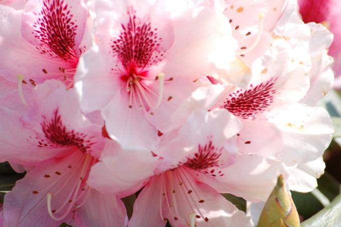 Rhody Pink Closeup